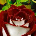 Чайно-гибридные розы: популярные сорта и как правильно ухаживать за стойкими красавицами фото