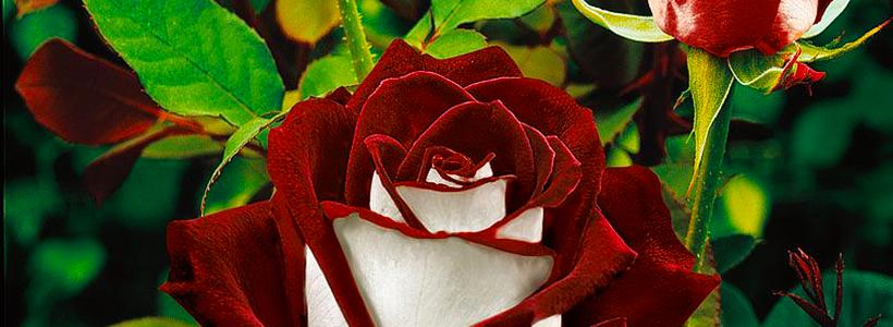 Чайно-гибридные розы: популярные сорта и как правильно ухаживать за стойкими красавицами