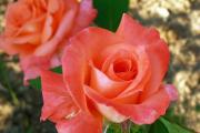 Фото 8 Чайно-гибридные розы: популярные сорта и как правильно ухаживать за стойкими красавицами
