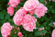 Фото 5 Чайно-гибридные розы: популярные сорта и как правильно ухаживать за стойкими красавицами