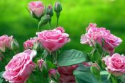 Фото 7 Чайно-гибридные розы: популярные сорта и как правильно ухаживать за стойкими красавицами