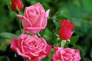 Фото 9 Чайно-гибридные розы: популярные сорта и как правильно ухаживать за стойкими красавицами