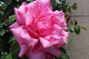 Фото 11 Чайно-гибридные розы: популярные сорта и как правильно ухаживать за стойкими красавицами