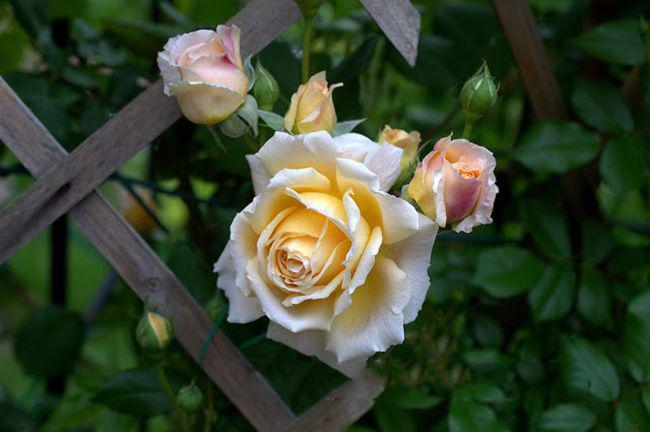 Массовое цветение продолжается июнь-июль, затем после короткого покоя наступает вторая волна, которая продолжающаяся до поздней осени