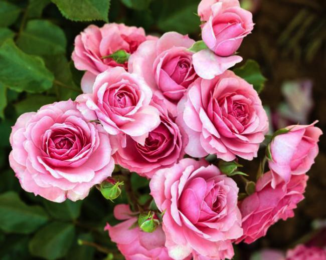 Декоративный цветок, имеющий самую богатую палитру красок и роскошный запах
