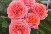 Фото 13 Чайно-гибридные розы: популярные сорта и как правильно ухаживать за стойкими красавицами