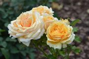 Фото 6 Чайно-гибридные розы: популярные сорта и как правильно ухаживать за стойкими красавицами