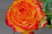 Фото 14 Чайно-гибридные розы: популярные сорта и как правильно ухаживать за стойкими красавицами