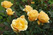 Фото 15 Чайно-гибридные розы: популярные сорта и как правильно ухаживать за стойкими красавицами