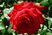Фото 16 Чайно-гибридные розы: популярные сорта и как правильно ухаживать за стойкими красавицами