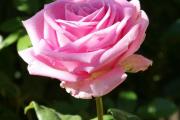 Фото 17 Чайно-гибридные розы: популярные сорта и как правильно ухаживать за стойкими красавицами