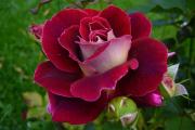 Фото 4 Чайно-гибридные розы: популярные сорта и как правильно ухаживать за стойкими красавицами