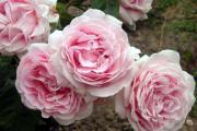 Фото 21 Чайно-гибридные розы: популярные сорта и как правильно ухаживать за стойкими красавицами