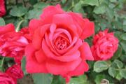 Фото 22 Чайно-гибридные розы: популярные сорта и как правильно ухаживать за стойкими красавицами