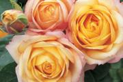 Фото 18 Чайно-гибридные розы: популярные сорта и как правильно ухаживать за стойкими красавицами