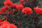 Фото 10 Чайно-гибридные розы: популярные сорта и как правильно ухаживать за стойкими красавицами