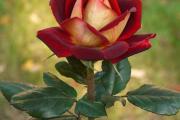 Фото 25 Чайно-гибридные розы: популярные сорта и как правильно ухаживать за стойкими красавицами