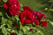 Фото 26 Чайно-гибридные розы: популярные сорта и как правильно ухаживать за стойкими красавицами