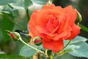 Фото 27 Чайно-гибридные розы: популярные сорта и как правильно ухаживать за стойкими красавицами
