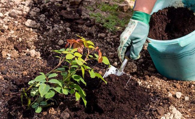 Допускается выращивание в условиях открытого и закрытого грунта, в зависимости от климатических условий региона