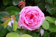 Фото 28 Чайно-гибридные розы: популярные сорта и как правильно ухаживать за стойкими красавицами
