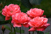 Фото 29 Чайно-гибридные розы: популярные сорта и как правильно ухаживать за стойкими красавицами