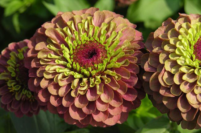 Цветок, пестрящий изобилием оттенков