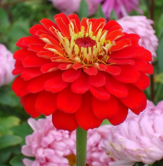 Полураскидистый куст с рыхлыми соцветиями алого цвета
