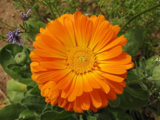 Группа Георгиноцветковых. Крупные махровые соцветия до 15 см в диаметре имеют яркую насыщенно-оранжевую окраску