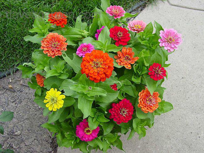 Семена созревают через 60-65 дней после начала цветения, всхожесть сохраняют 2-3 года