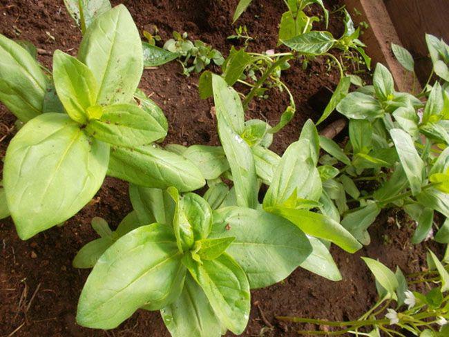 Размножаются чаще всего семенами через рассаду, так как растение чувствительно даже к самым легким заморозкам, как весенним, так и осенним