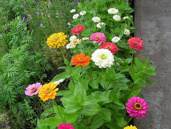 Рассаду пересаживают в открытый грунт вместе с земляным комом, так молодые растения практически не болеют и быстро начинают расти