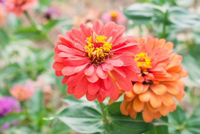 Если прищипывать растение, густота куста и количество соцветий увеличится