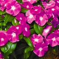 Катарантус (50+ фото): посадка, уход и выращивание в садовых и домашних условиях фото