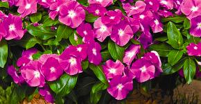 Катарантус: все тонкости посадки и ухода в садовых или домашних условиях фото