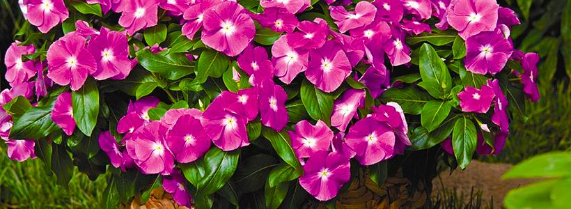 Катарантус (50+ фото): посадка, уход и выращивание в садовых и домашних условиях