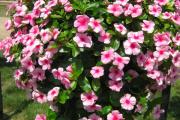 Фото 12 Катарантус (50+ фото): посадка, уход и выращивание в садовых и домашних условиях