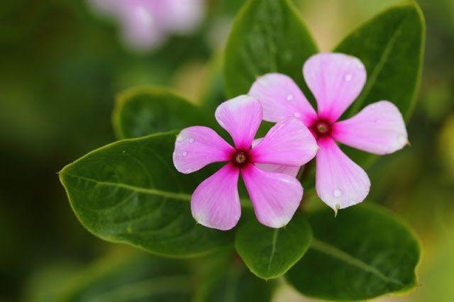 Своевременная подрезка обеспечит бурное цветение и рост растения