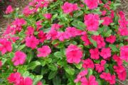 Фото 5 Катарантус (50+ фото): посадка, уход и выращивание в садовых и домашних условиях