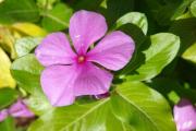Фото 9 Катарантус (50+ фото): посадка, уход и выращивание в садовых и домашних условиях