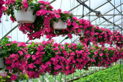 Фото 7 Катарантус (50+ фото): посадка, уход и выращивание в садовых и домашних условиях