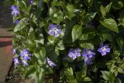 Фото 6 Катарантус (50+ фото): посадка, уход и выращивание в садовых и домашних условиях