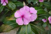 Фото 13 Катарантус (50+ фото): посадка, уход и выращивание в садовых и домашних условиях