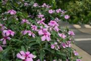 Фото 16 Катарантус (50+ фото): посадка, уход и выращивание в садовых и домашних условиях
