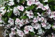 Фото 17 Катарантус (50+ фото): посадка, уход и выращивание в садовых и домашних условиях