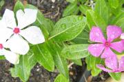 Фото 1 Катарантус (50+ фото): посадка, уход и выращивание в садовых и домашних условиях