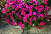 Фото 22 Катарантус (50+ фото): посадка, уход и выращивание в садовых и домашних условиях