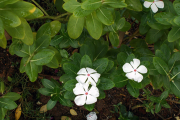 Фото 25 Катарантус (50+ фото): посадка, уход и выращивание в садовых и домашних условиях