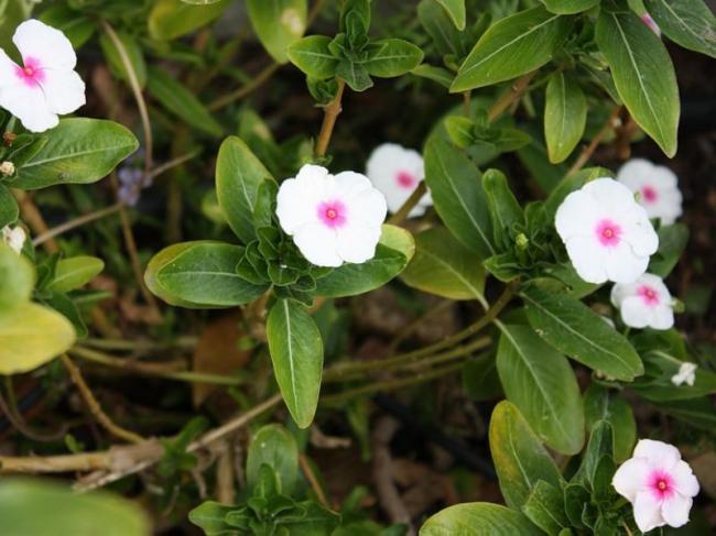 При переизбытке или недостатке влаги растение может заболеть