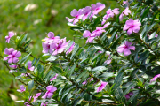 Фото 4 Катарантус (50+ фото): посадка, уход и выращивание в садовых и домашних условиях
